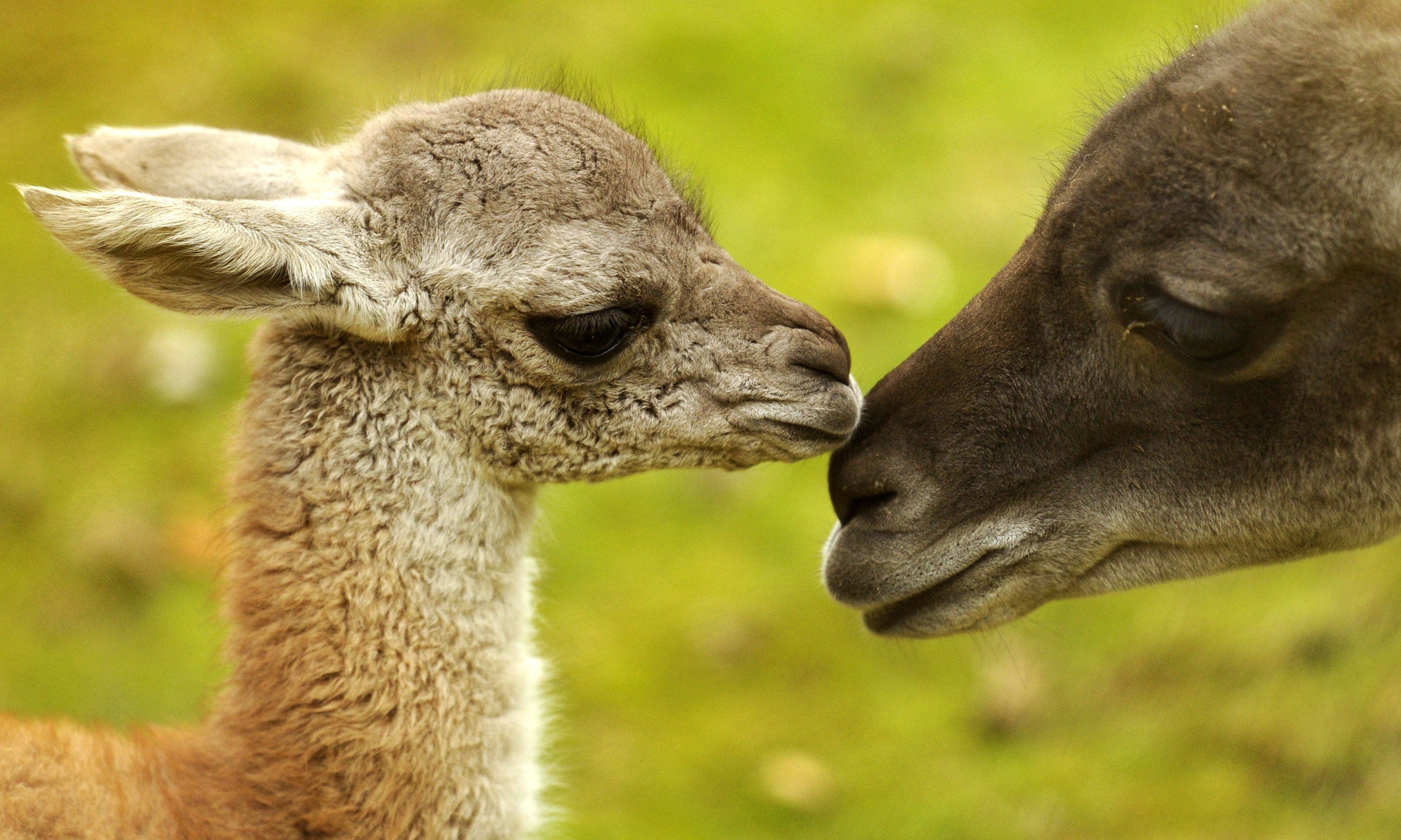 animal animals baby sweet cute adorable stress getty guanaco slideshow afp andersen odd relieve impossibly deserve because had week stressed