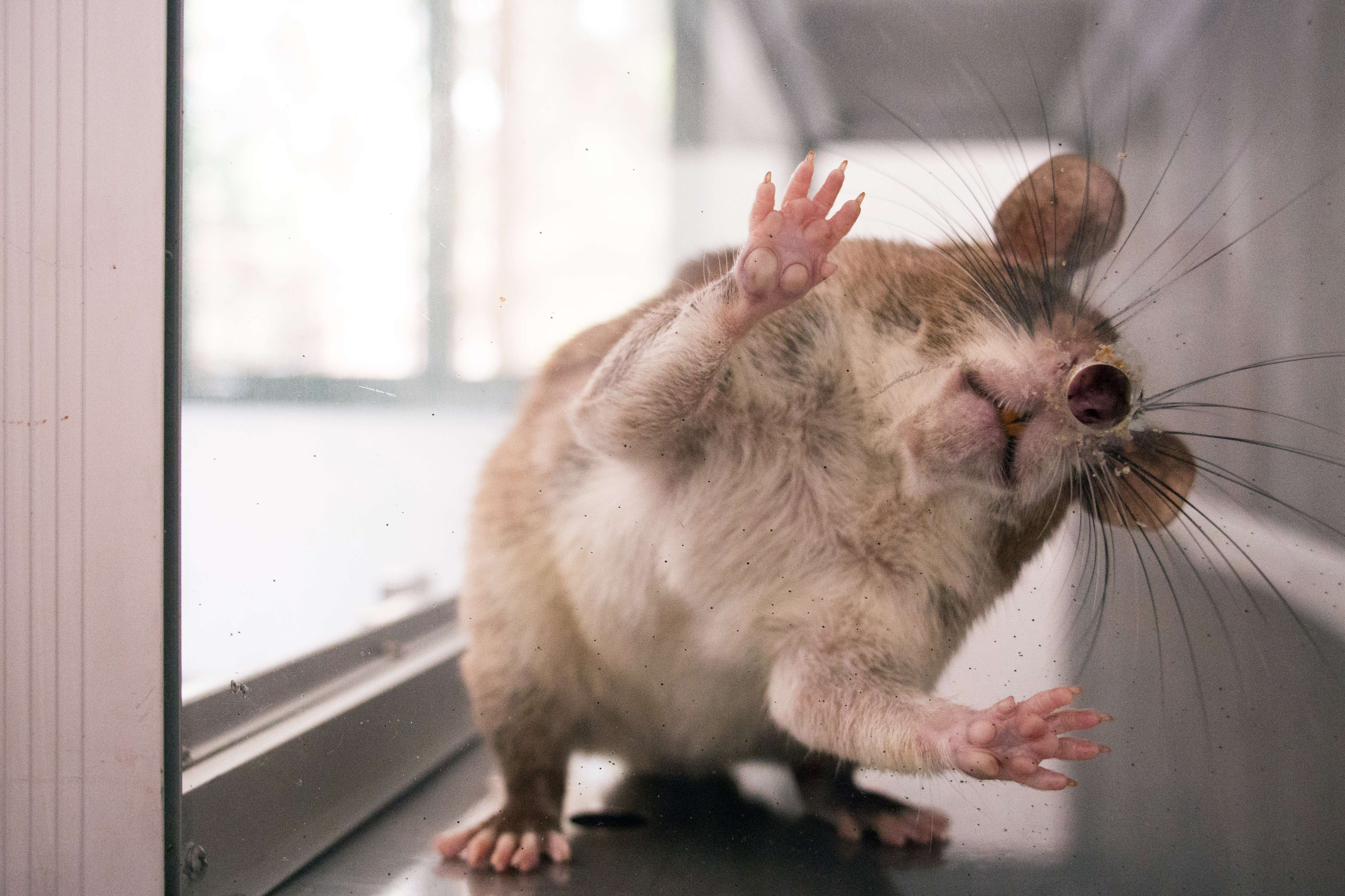 Крысы прикольные картинки, йода